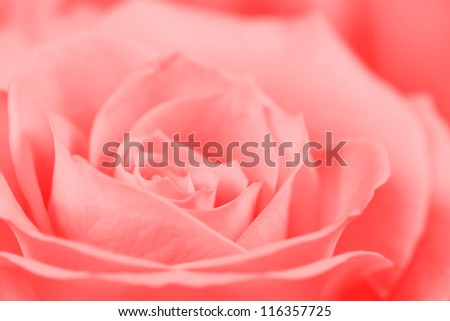 The background of the beautiful petals rose closeup - stock photo