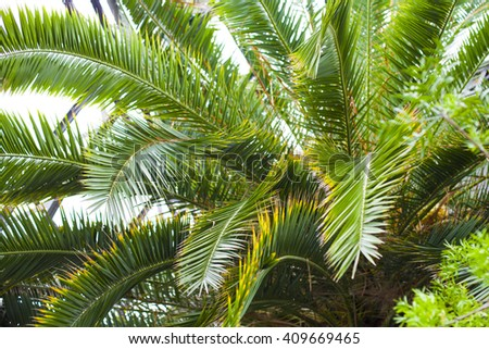 The background of tropical palms. The branches of the palm close. Tropical plants. Greenhouse with trees.