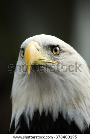 The Bald eagle captured up close and personal