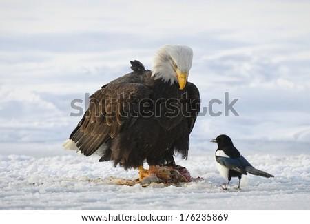 The Bald eagle  ( Haliaeetus leucocephalus ) sits on snow and eats a salmon. Nearby magpie. Alaska - stock photo