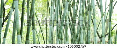 the bamboo groves - stock photo