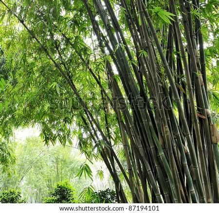 the bamboo groves - stock photo