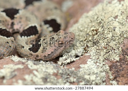 The banded rock rattlesnake is a master at camouflage. - stock photo