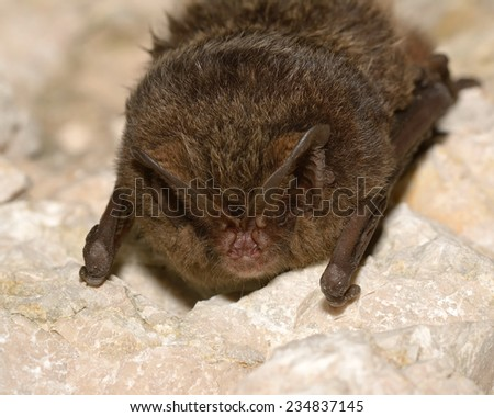 The barbastelle bat (Barbastella barbastellus), western barbastelle hibernation - stock photo