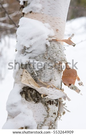 The bark of birch in a cold winter feeding hares