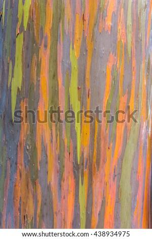 the bark of the colorful rainbow tree - stock photo