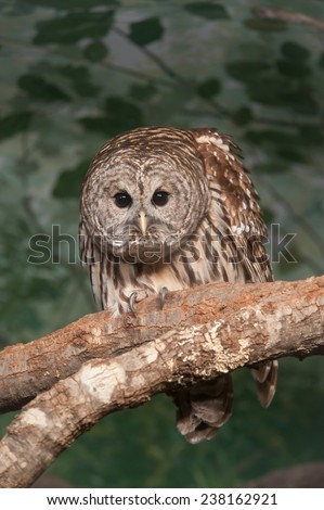 "The barred owl (Strix varia) is one of the four owl species that has dark eyes and is know as the ""Hoot Owl"" because of it's familiar call. - stock photo"