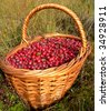 The basketful of the cranberry in autumn. - stock photo