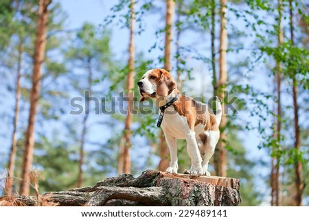 The beagle in forest searches for game - stock photo