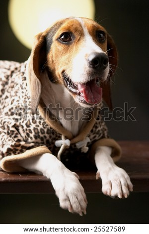 The beagle wears leopard print.