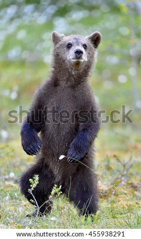 The bear cub standing on hinder legs. Ursus Arctos ( Brown Bear)  - stock photo