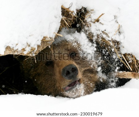 The bear looks out of a snow den isolated - stock photo