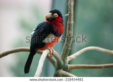 The bearded barbet sitting on a tree branch - stock photo