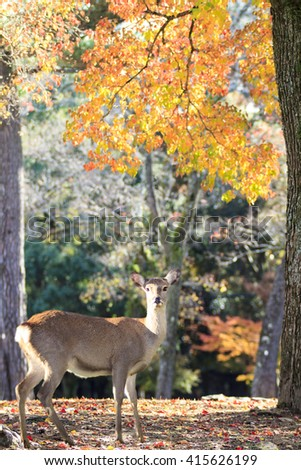 The beatiful Nara season with nice colorful maple in the background