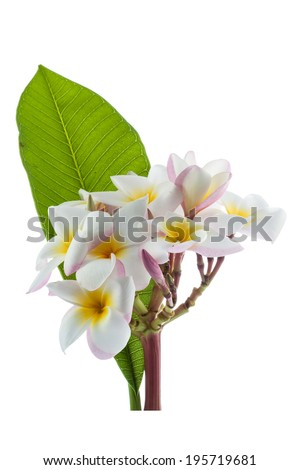 The beaultiful plumeria or frangipani isolated - stock photo