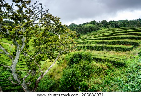 The beautiful Azores islands tea plantation in San Miguel island - stock photo