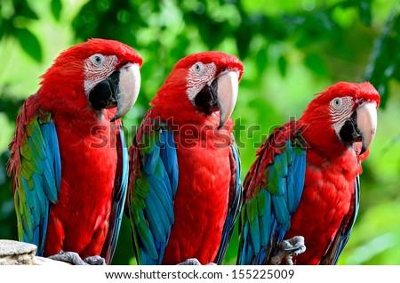 The beautiful birds Greenwinged Macaw. - stock photo