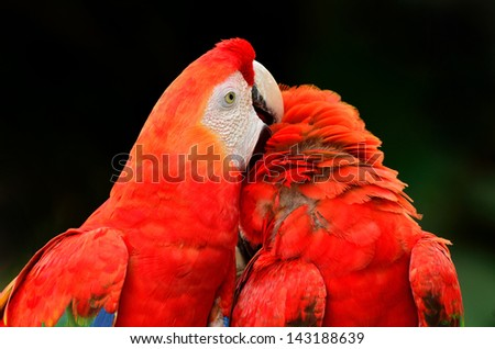 The beautiful birds Scarlet  Macaw.