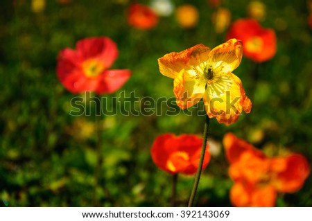 The beautiful blooming Corn poppy flower in garden