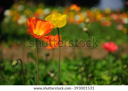 The beautiful blooming Corn poppy flowers in garden.