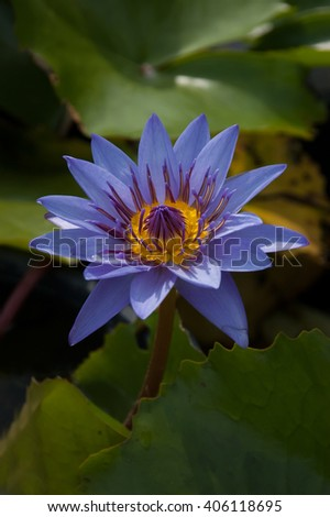 The beautiful Blooming lotus flower - stock photo