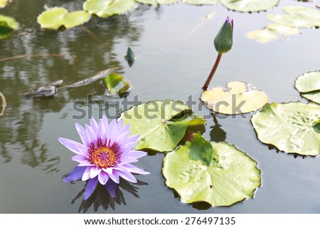The beautiful blooming purple lotus flowers. - stock photo