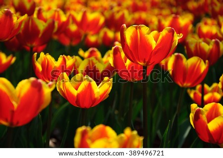 The beautiful blooming tulips in garden