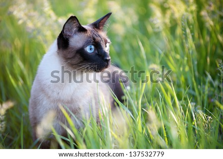 The beautiful brown cat, Siamese, with blue-green eyes lies in a green grass and leaves - stock photo