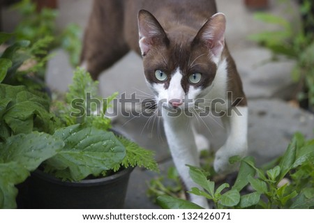 The beautiful brown cat, Siamese, with blue-green eyes lies in a green  leaves - stock photo