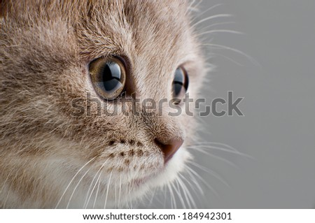the beautiful brown little  kitten, on grey  background , isolated, closeup  muzzle - stock photo