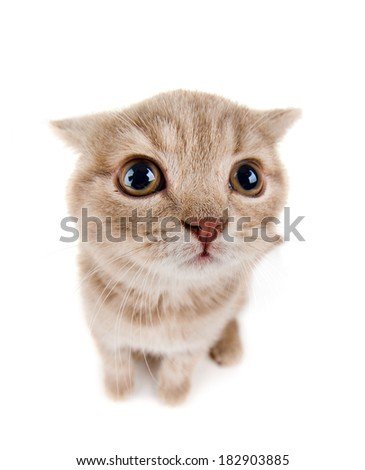 the beautiful brown little  kitten, sit on white  background , isolated, closeup  muzzle - stock photo