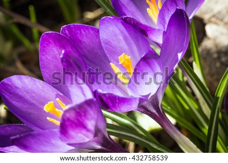 The beautiful bud closeup crocus flower purple bloom - stock photo