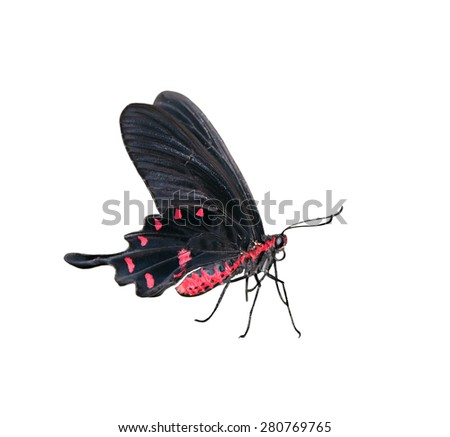 The beautiful Butterfly  Atrophaneura semperi isolated on a white background. - stock photo