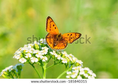 the beautiful butterfly sits on white flowers - stock photo