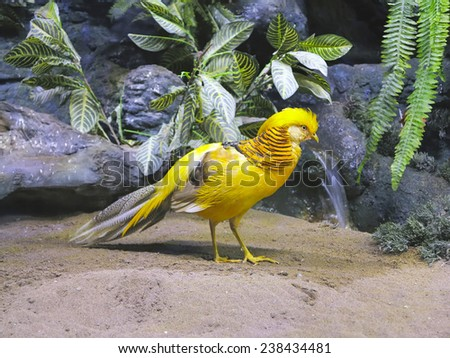 The beautiful colored male yellow chinese pheasant in a natural environment - stock photo