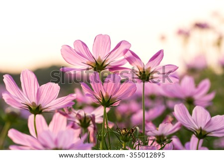 The beautiful Cosmos flower in tropical garden.