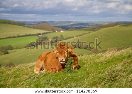 The beautiful Dorset countryside with a brown cow grazing in a field - stock photo