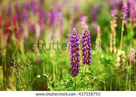 The Beautiful flowers a lupine in nature. - stock photo
