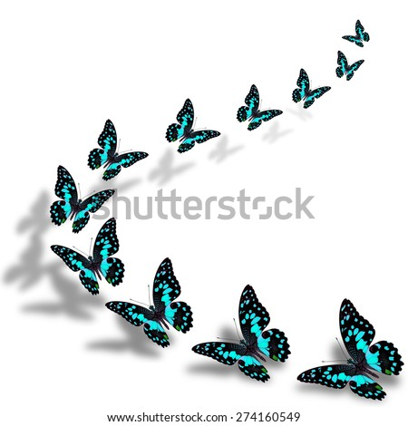 The beautiful flying blue butterflies in a great series of taking off with nice shadow beneath - stock photo