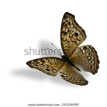 The beautiful flying Grey Pansy Butterfly (Junonia atlites ) isolated on white background with soft shadow beneath - stock photo