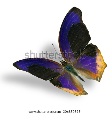 The beautiful flying Large Assyrian butterfly (terinos atlita) the beautiful black and blue butterfly on white with nice soft shadow beneath - stock photo
