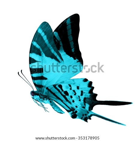 The beautiful flying light blue butterfly isolated on white background, fivebar Swordtail in fancy color