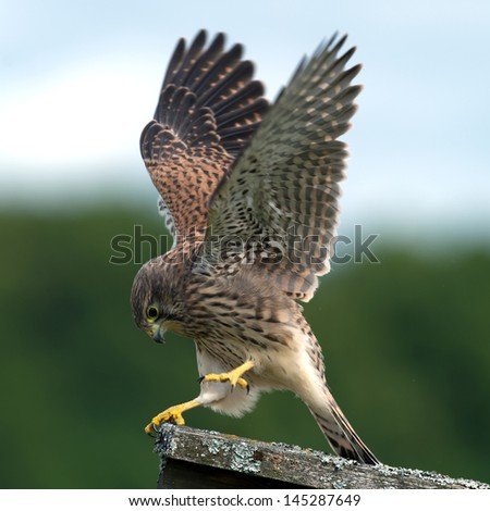The beautiful juvenile kestrel (Falco tinnunculus) shows how she captured the mouse, in Uppland, Sweden - stock photo