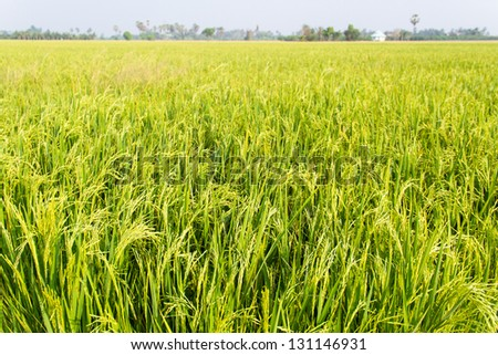 The beautiful landscape of rice fields in Thailand. - stock photo
