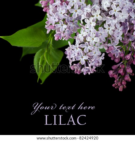 The beautiful lilac on a black background - stock photo