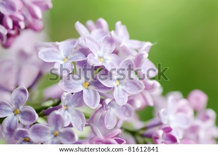 The beautiful lilac on a green background - stock photo