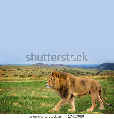 The beautiful lion in African savannah. Wonderful South African landscape. Wildlife in Africa. Amazing photo of african safari, traveling to National Parks of Africa and wild animals. Big five.  - stock photo