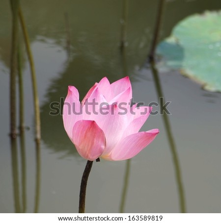 The beautiful lotus flower is a symbol for Buddhism in Asia - stock photo