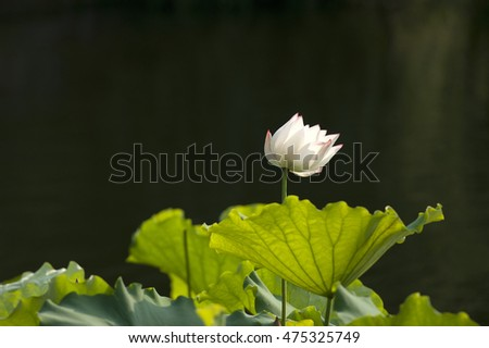 the beautiful lotus flowers. lotus leaves and lotus seed under the sunshine in summer.