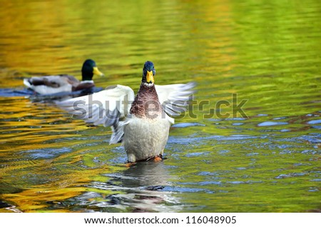 The beautiful mallard duck waving wings on the pond. The water in the reflection of colorful autumn trees. - stock photo